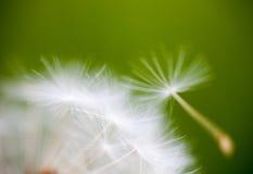 蒲公英花的种子的特写镜头 免版税图库摄影