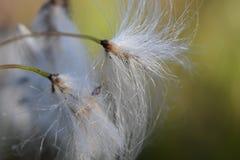 蒲公英花转向了摇摆在微风的种子子线 免版税库存照片