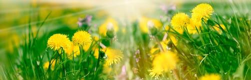 蒲公英花,蒲公英花在早晨太阳光芒阳光之前点燃了在草甸 免版税库存图片