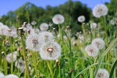 蒲公英草坪在明亮的好日子 库存图片