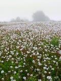 蒲公英草甸  有薄雾的早晨在立陶宛 库存照片