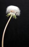 蒲公英荚种子 库存照片