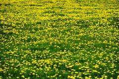 蒲公英蒲公英黄色花的领域 免版税库存图片