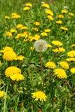 蒲公英蒲公英officinale,花在草甸,春天 免版税图库摄影