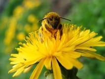 蒲公英蜜蜂 免版税图库摄影