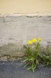 蒲公英通过在路面的一个裂缝增长 库存图片