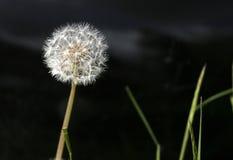 蒲公英顶头种子 库存照片