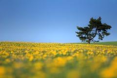 蒲公英领域结构树 库存照片