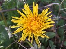 蒲公英黄绿色自然庭院太阳秀丽春天 库存照片