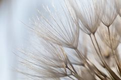 蒲公英,光,领域,许多光,草甸,太阳 天,宏指令,纹理,细节,植物,秀丽 图库摄影