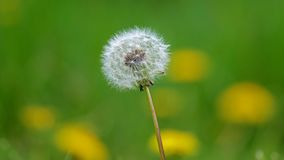 蒲公英,美丽的独特的黄色花杂草 免版税图库摄影