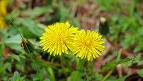 蒲公英,美丽的独特的黄色花杂草 免版税库存照片