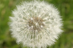 蒲公英,降伞球,种子,特写镜头 免版税图库摄影