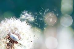 蒲公英 关闭吹去,蓝天的蒲公英孢子 蒲公英种子关闭吹在蓝色绿松石背景中 免版税图库摄影