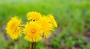 蒲公英黄色花花束在阳光,天然泉健康背景下 免版税库存照片