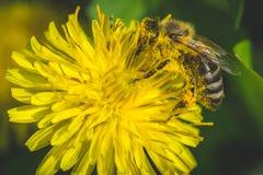 蒲公英 这里春天 蜂爱这朵花 大下落绿色叶子宏观摄影水 免版税库存图片