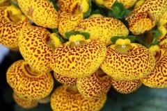 蒲包花属植物-小组黄色被察觉的花 免版税图库摄影