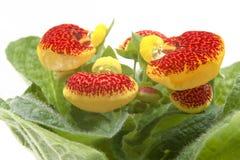 蒲包花属植物 库存照片