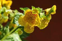 蒲包花属植物 免版税库存照片