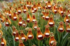 蒲包花属植物shrimpton瓦尔特 库存照片