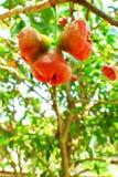 蒲桃树和果子 库存图片