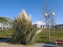 蒲苇和树在城市公园 库存照片