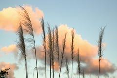 蒲苇花和蓬松云彩 库存照片