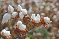 蒴成熟分行的棉花 免版税库存照片