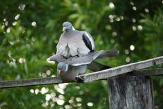 蒸在木的两只鸽子被翻译成绿叶背景在公园 免版税库存图片
