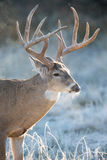 从蒸他的毛皮的白尾鹿大型装配架的热 库存照片