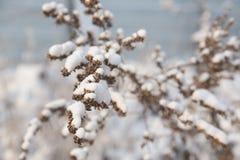 蒿木分支在雪的 库存图片