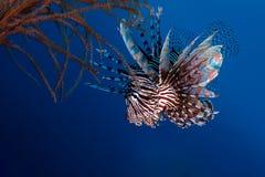 蓑鱼在礁石的Pterois狩猎 免版税库存图片