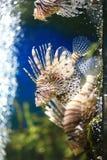 蓑鱼或Pterois 图库摄影