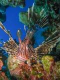 蓑鱼接近在珊瑚礁前面 库存图片