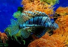 蓑鱼热带鱼 库存图片