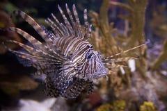 蓑鱼, pterois volitans, 免版税库存照片