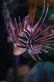 蓑鱼 免版税图库摄影