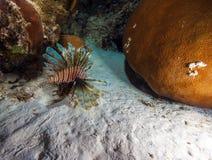 蓑鱼& x28; Pterois& x29;在珊瑚附近, s缓慢地Cayo,古巴 免版税库存图片