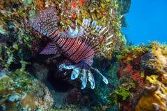 蓑鱼(Pterois)在珊瑚,缓慢地Cayo附近,古巴 免版税库存图片