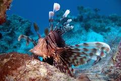 蓑鱼- Pterois volitans -红海 库存照片