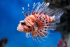 蓑鱼mombasae pterois 库存照片