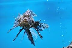 蓑鱼pterois红色volitans 图库摄影