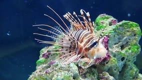 蓑鱼Pterois volitans是岩鱼家庭的一条毒珊瑚礁鱼 股票视频