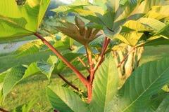 蓖麻籽叶子下面  库存图片