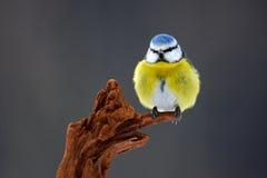 蓝冠山雀、逗人喜爱的蓝色和黄色歌手在冬天场面,雪剥落和好的雪剥落和好的地衣分支,德国 免版税图库摄影