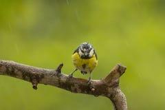 蓝冠山雀下了雨湿 免版税库存图片