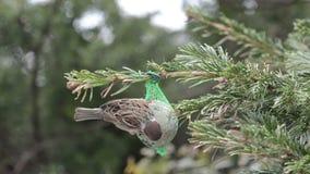 蓝冠山雀和搜寻在鸟油脂球的麻雀种子 影视素材