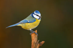 蓝冠山雀在冬天 免版税库存图片