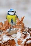 蓝冠山雀在冬天 库存图片