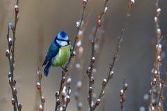 蓝冠山雀在树的冬天 库存照片